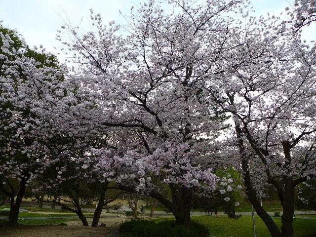 Mの花見!持ちより会で夜桜を楽しみました! @服部緑地公園