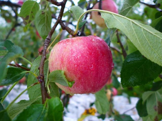 第2回どぎゃん日帰りバスツアーはリンゴ狩りとバーベキューでまたまた大満足!